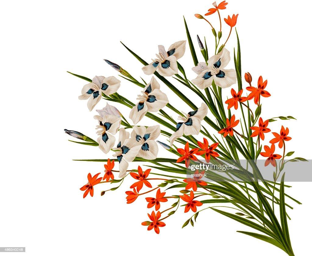Peacock Iris And Freesia Flowers On White Stock Illustration Getty