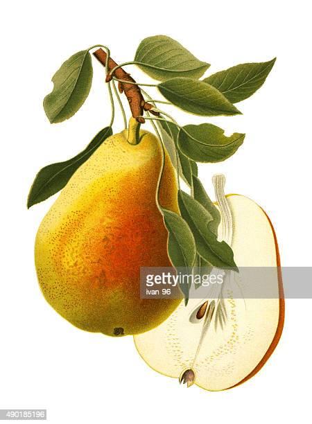 ilustrações, clipart, desenhos animados e ícones de pera - fruta