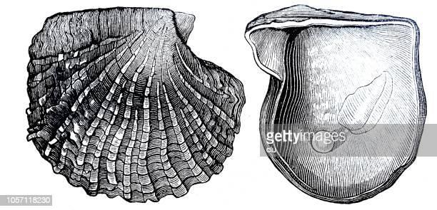 illustrations, cliparts, dessins animés et icônes de moule perlière sur fond blanc, des deux côtés - perle de culture