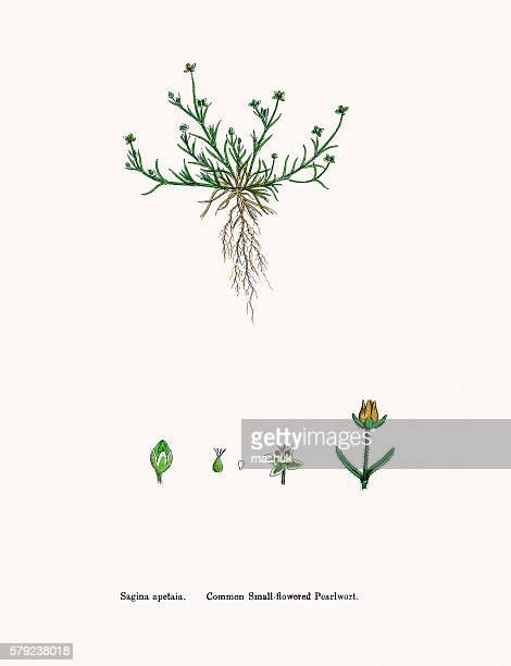 ilustrações, clipart, desenhos animados e ícones de pearlwort plant - chickweed