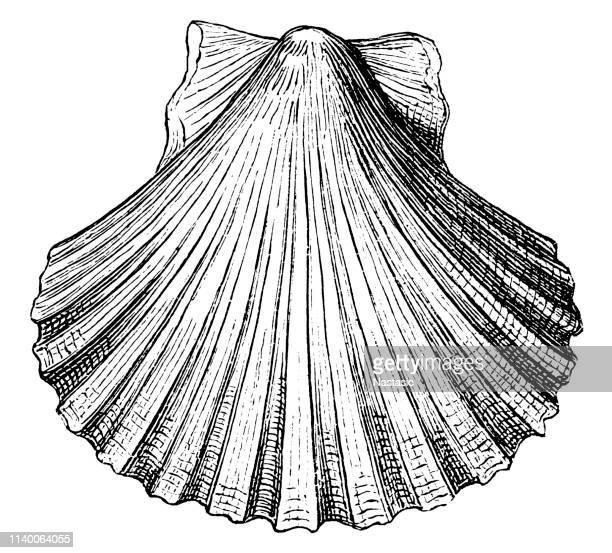 ilustraciones, imágenes clip art, dibujos animados e iconos de stock de pecten opercularis shell concha concha seashell - concha de mar