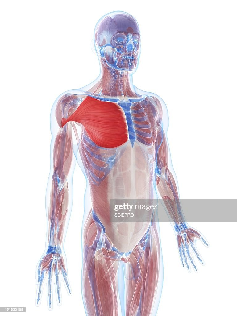 Pectoralis Major Muscle Artwork Stock Illustration | Getty Images
