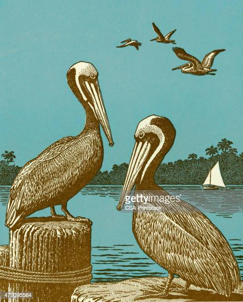 pelicans - pelican stock illustrations