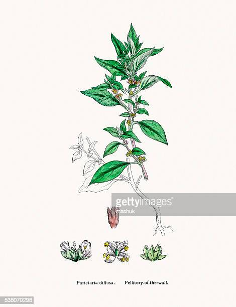 pellitory-of-the-wall or lichwort plant common allergen - {{relatedsearchurl('county fair')}} stock illustrations, clip art, cartoons, & icons