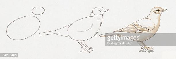 pencil drawing of three stages of illustrating birds starting with basic body outline and ending with details including feather and common features - animal body stock illustrations, clip art, cartoons, & icons