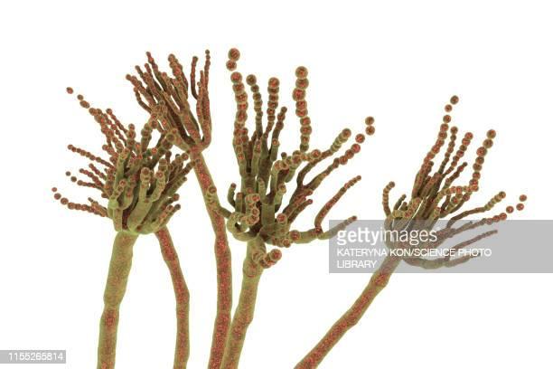 penicillium roqueforti fungus, illustration - spore stock illustrations