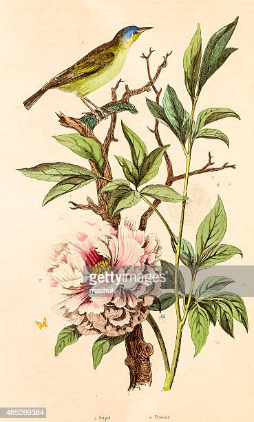 Peony , 19 century botanical illustration