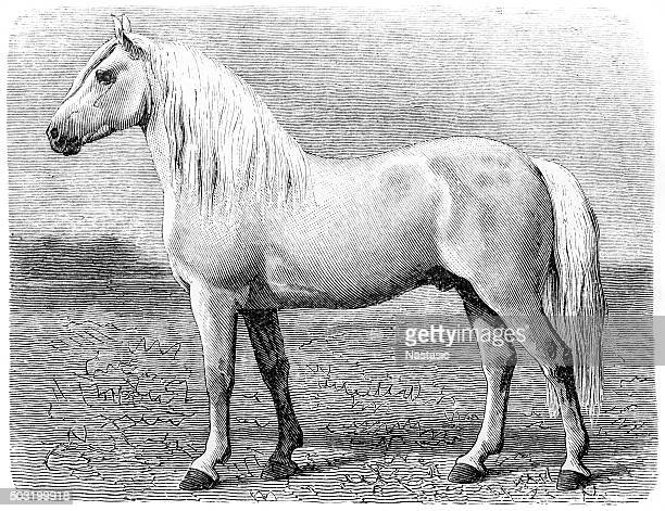 ilustraciones, imágenes clip art, dibujos animados e iconos de stock de percheron caballo - monoimpresión