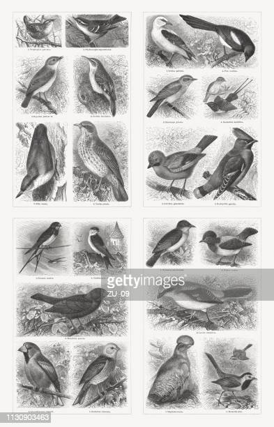 perching birds (passeriformes), wood engravings, published in 1897 - magpie stock illustrations