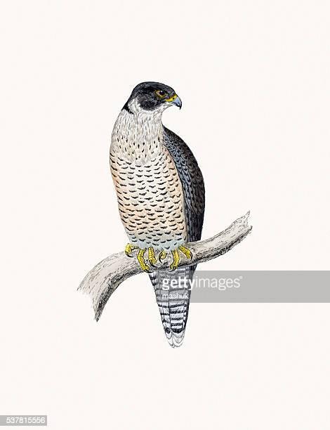 peregrine bird of prey - peregrine falcon stock illustrations, clip art, cartoons, & icons