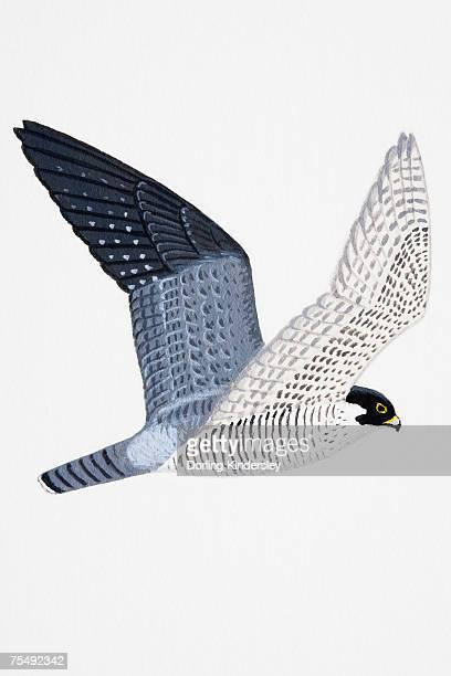 peregrine falcon (falco peregrinus), adult - peregrine falcon stock illustrations, clip art, cartoons, & icons