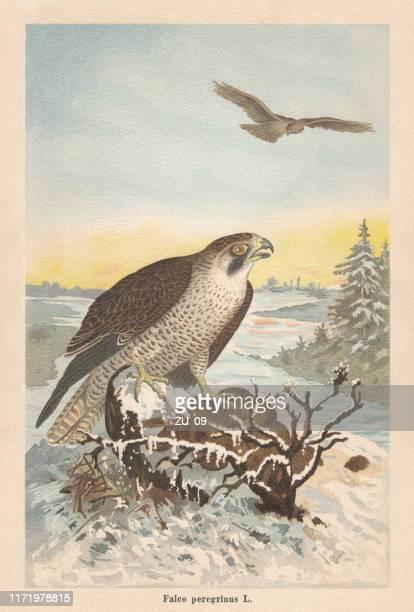 peregrine falcon (falco peregrinus), chromolithograph, published in 1896 - peregrine falcon stock illustrations, clip art, cartoons, & icons