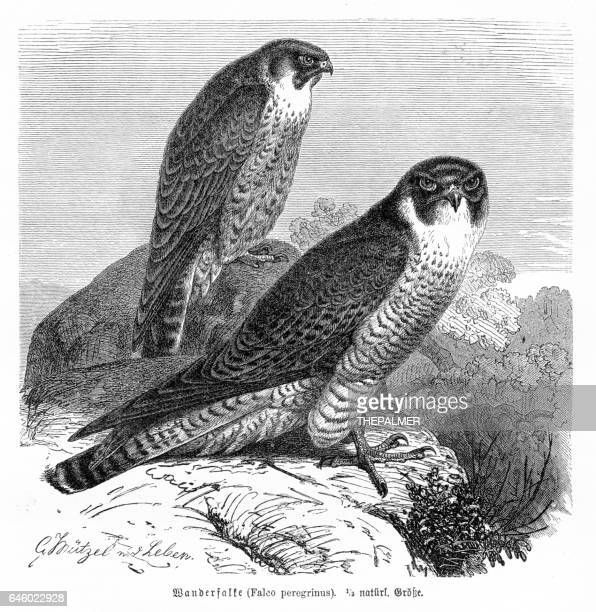 peregrine falcon engraving 1892 - falcon bird stock illustrations, clip art, cartoons, & icons