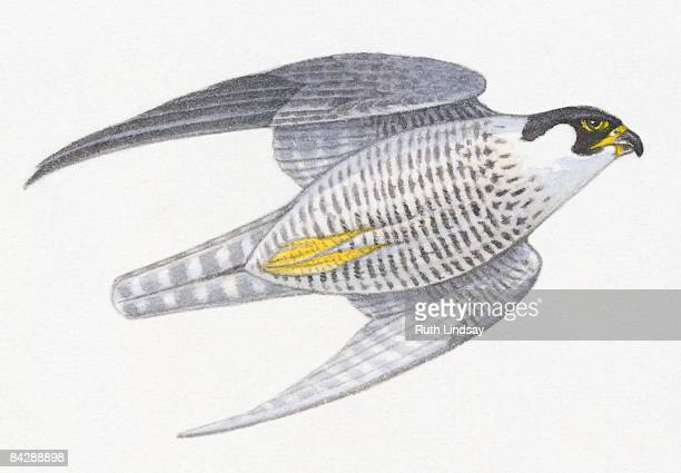 peregrine falcon (falco peregrinus) flying with wings close to body - peregrine falcon stock illustrations, clip art, cartoons, & icons