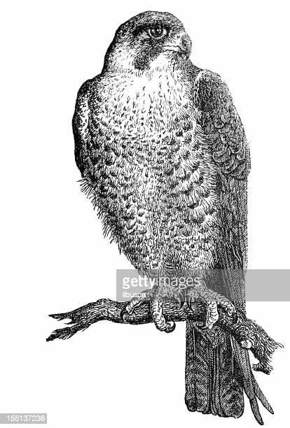 peregrine falcon (falco peregrinus) - falcons stock illustrations, clip art, cartoons, & icons