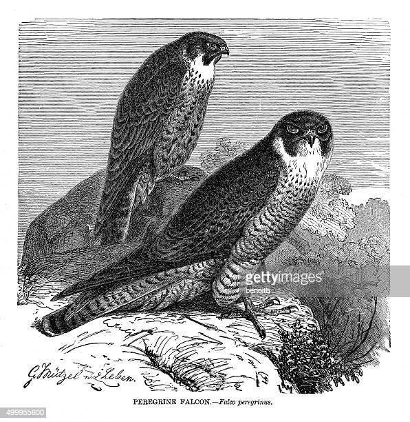 peregrine falcon - peregrine falcon stock illustrations, clip art, cartoons, & icons