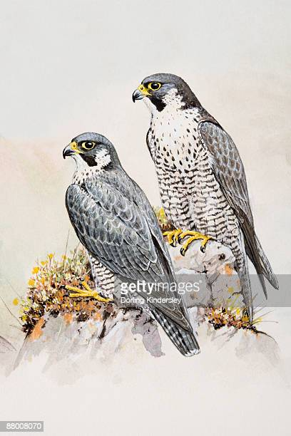 peregrine falcon (falco peregrinus), male and female, perching on a rock, looking away - peregrine falcon stock illustrations, clip art, cartoons, & icons