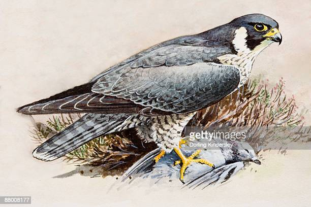 peregrine falcon (falco peregrinus), perching on top of dead bird - peregrine falcon stock illustrations, clip art, cartoons, & icons