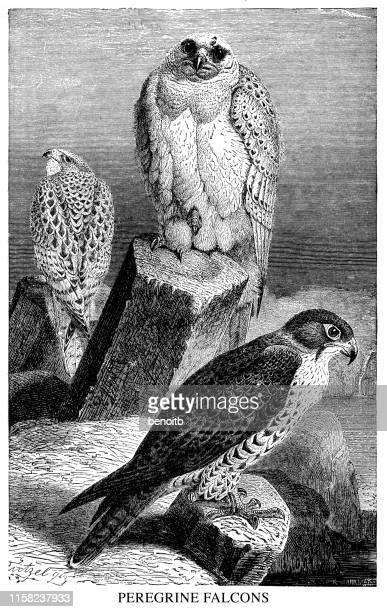 peregrine falcons - peregrine falcon stock illustrations, clip art, cartoons, & icons
