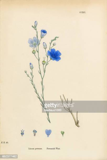 perennial flax, linum perenne, victorian botanical illustration, 1863 - wildflower stock illustrations, clip art, cartoons, & icons