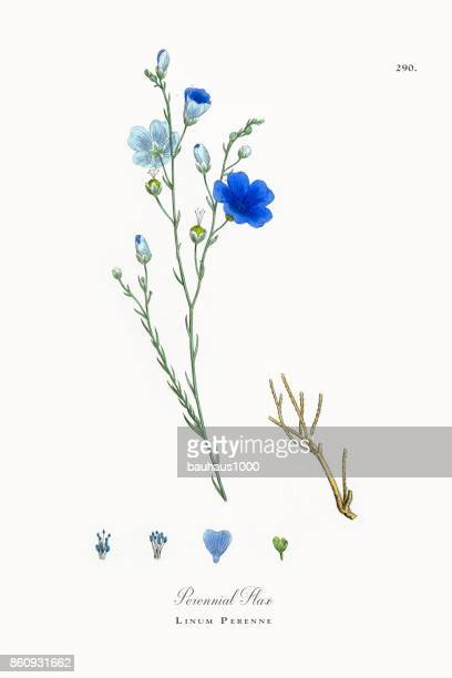 perennial flax, linum perenne, victorian botanical illustration, 1863 - plant bulb stock illustrations
