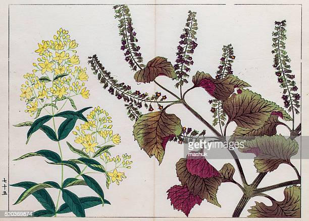 perilla plant japanese woodblock print - shiso stock illustrations