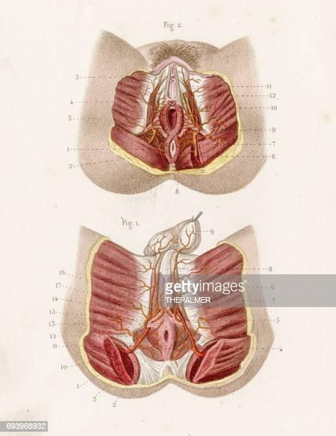 perineum anatomy engraving 1886 - penis stock illustrations, clip art, cartoons, & icons
