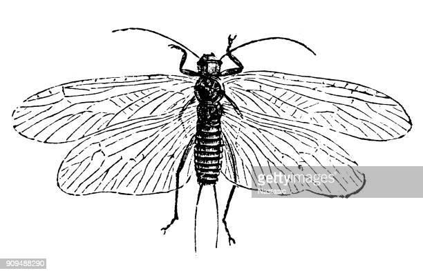 Perla marginata ,Plecoptera commonly known as stoneflies