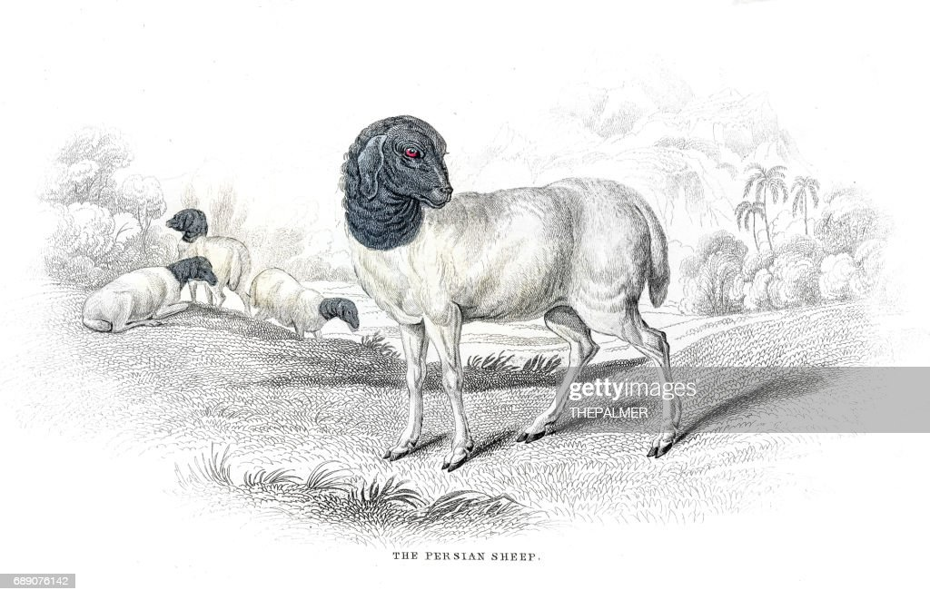 Persian sheep lithograph 1884 : Stock Illustration