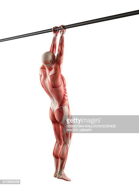 Chin Ups Stock Illustrations And Cartoons Getty Images