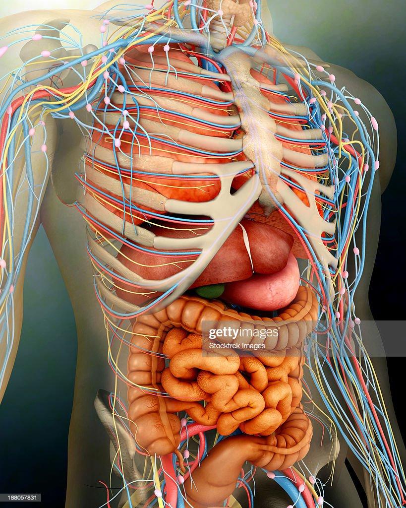 The Human Body Bones Organs Diagram - Car Wiring Diagrams Explained •