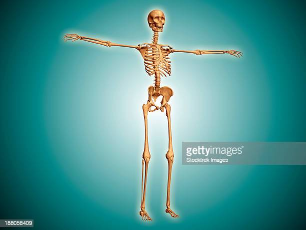 perspective view of human skeletal system. - foot bone stock illustrations