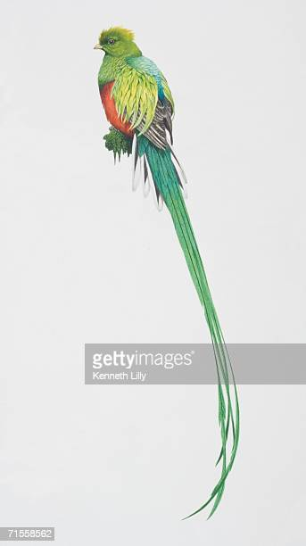 ilustraciones, imágenes clip art, dibujos animados e iconos de stock de pharomachrus mocinno, resplendent quetzal perched on a tree branch, long green tail and a red belly . - quetzal