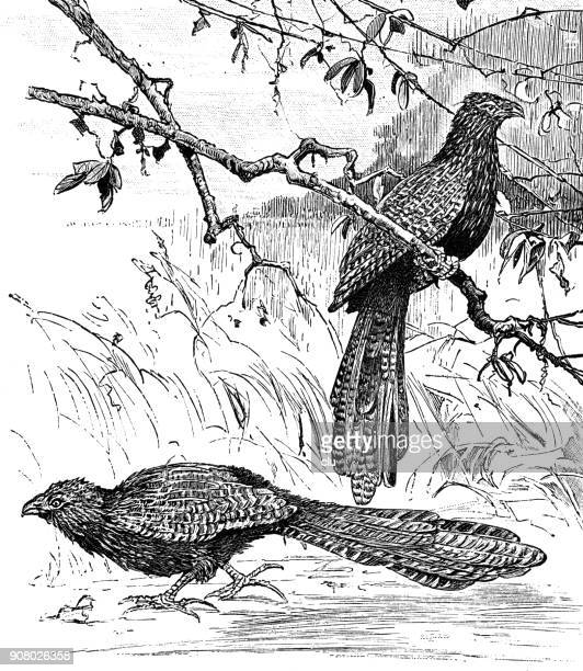 Pheasant Coucals in nature