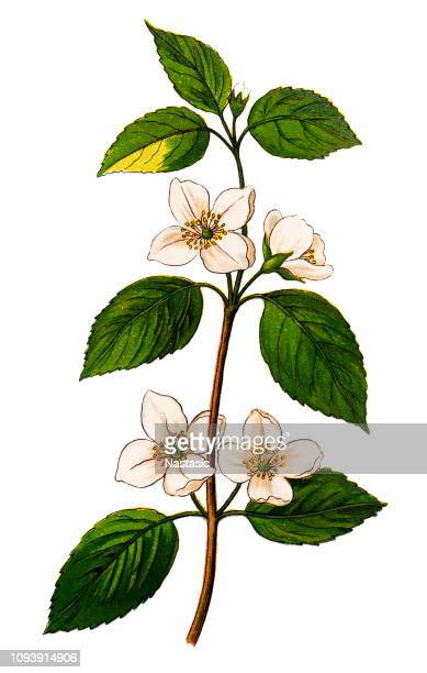 philadelphus coronarius (sweet mock-orange, english dogwood) - jasmine stock illustrations