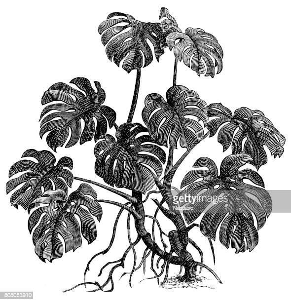 illustrations, cliparts, dessins animés et icônes de philodendron (philodendron pertusum) - plante tropicale