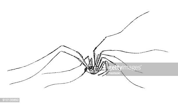 Pholcus phalangioides, are commonly called daddy long-legs spider, granddaddy long-legs spider, carpenter spider, daddy long-legger, or vibrating spider