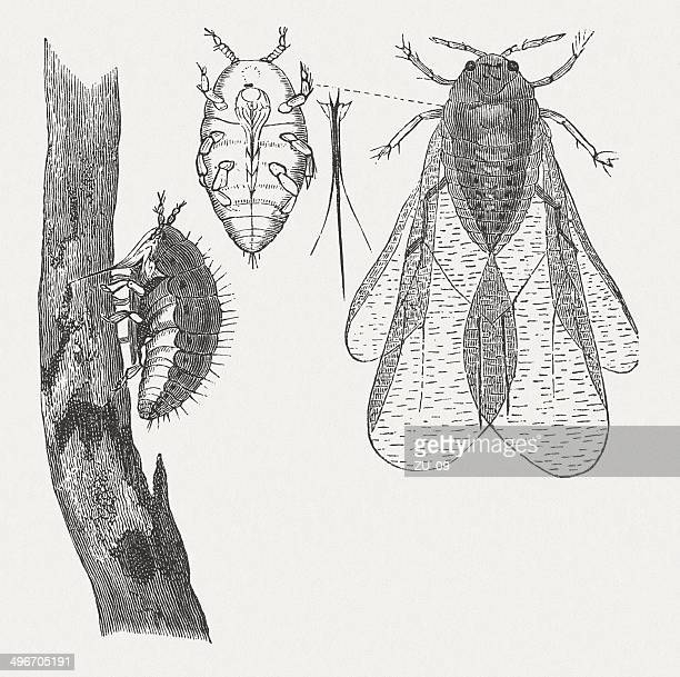 Phylloxera, wood engraving, published in 1881