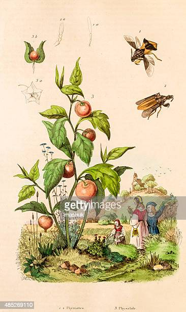 physalis and insects, 19 century botanical illustration - aromatherapy stock illustrations, clip art, cartoons, & icons