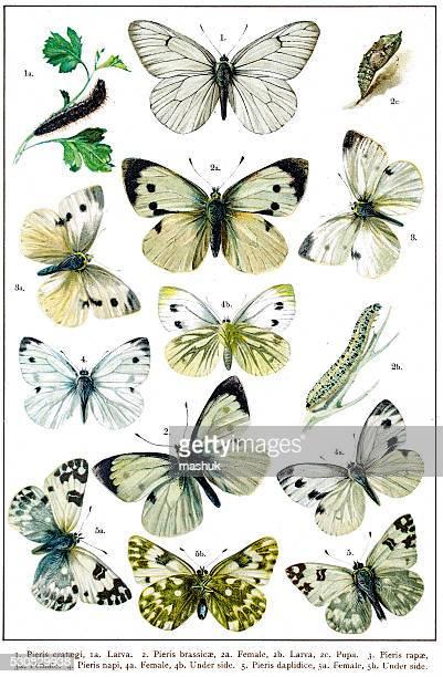 ilustrações, clipart, desenhos animados e ícones de pieris, os brancos ou jardim de borboletas branco - zoologia