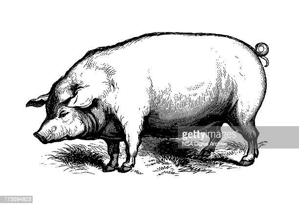 pig (isolated on white) - 19th century style stock illustrations