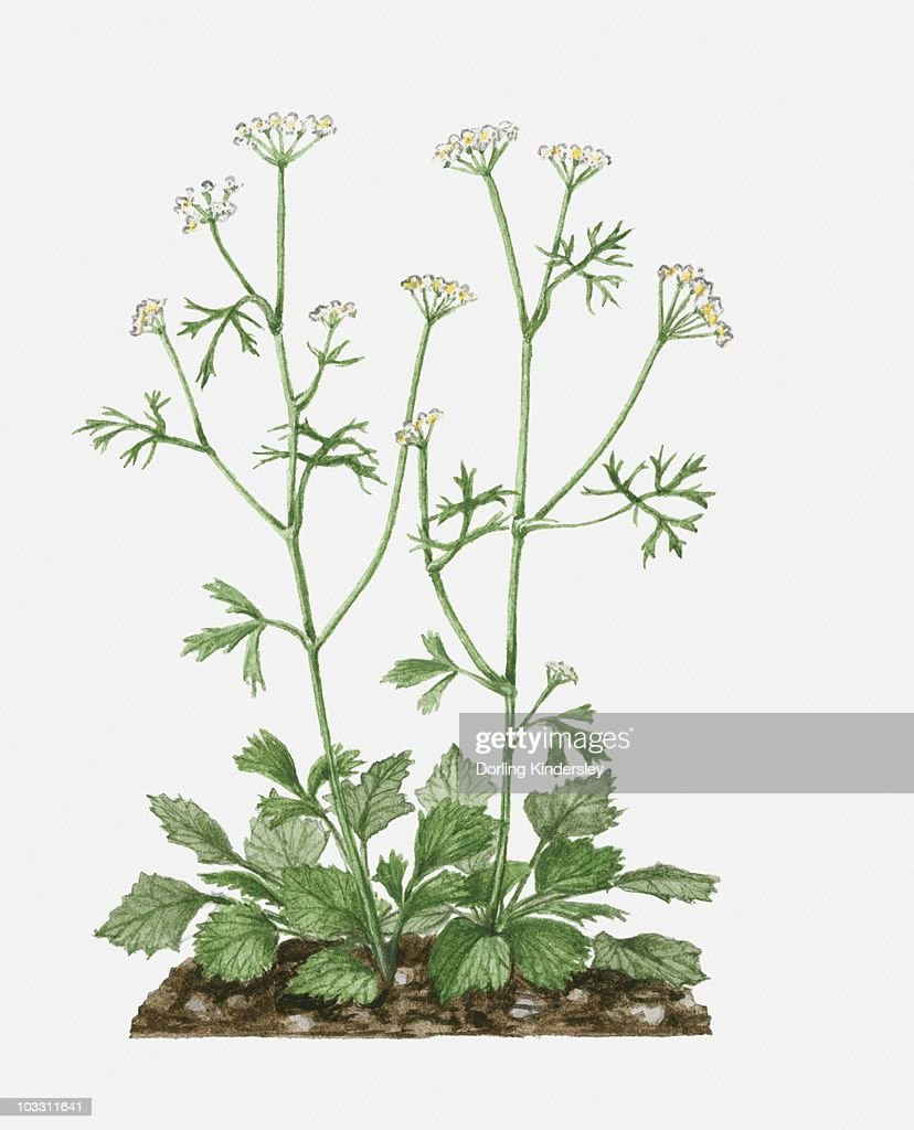 Pimpinella Anisum With White Flowers And Green Leaves On Tall Stems