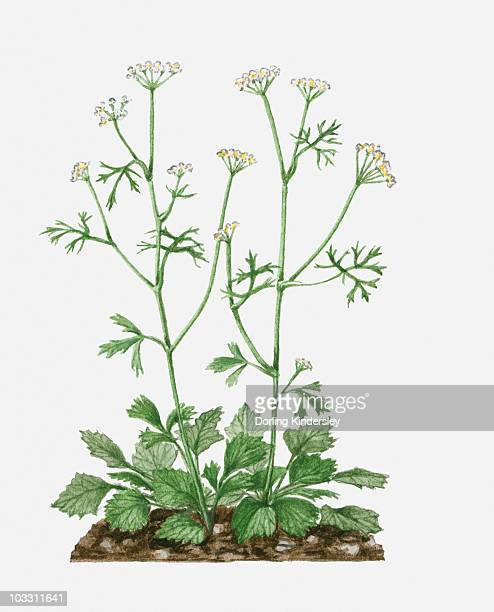 Pimpinella anisum (Aniseed) with white flowers and green leaves on tall stems