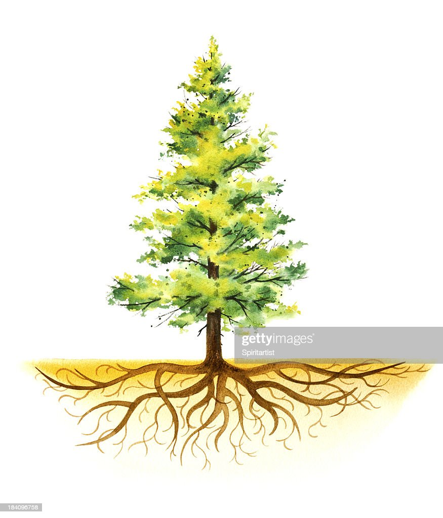 Pine Tree With Roots Stock Illustration Getty Images