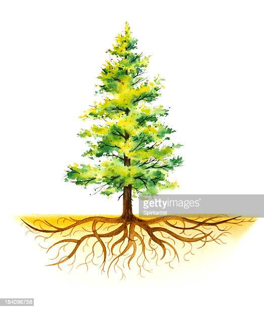 pine tree with roots - root stock illustrations, clip art, cartoons, & icons