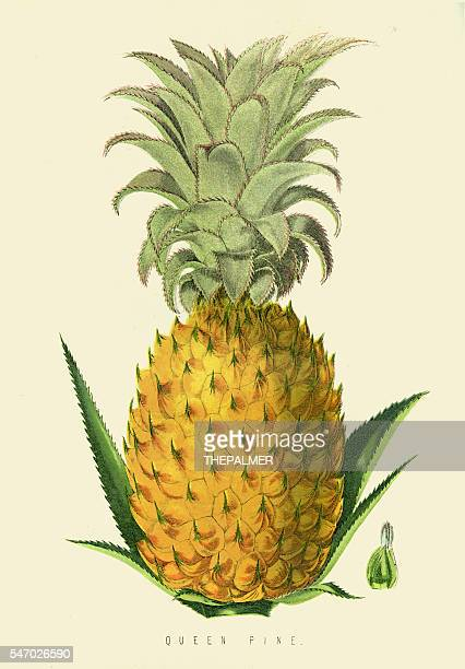Pineapple fruit illustration 1874