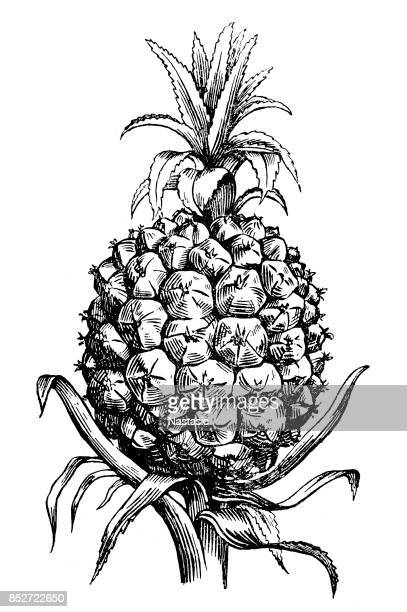 illustrations, cliparts, dessins animés et icônes de ananas (ananas comosus) - ananas
