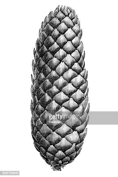 pinecone - pine cone stock illustrations, clip art, cartoons, & icons