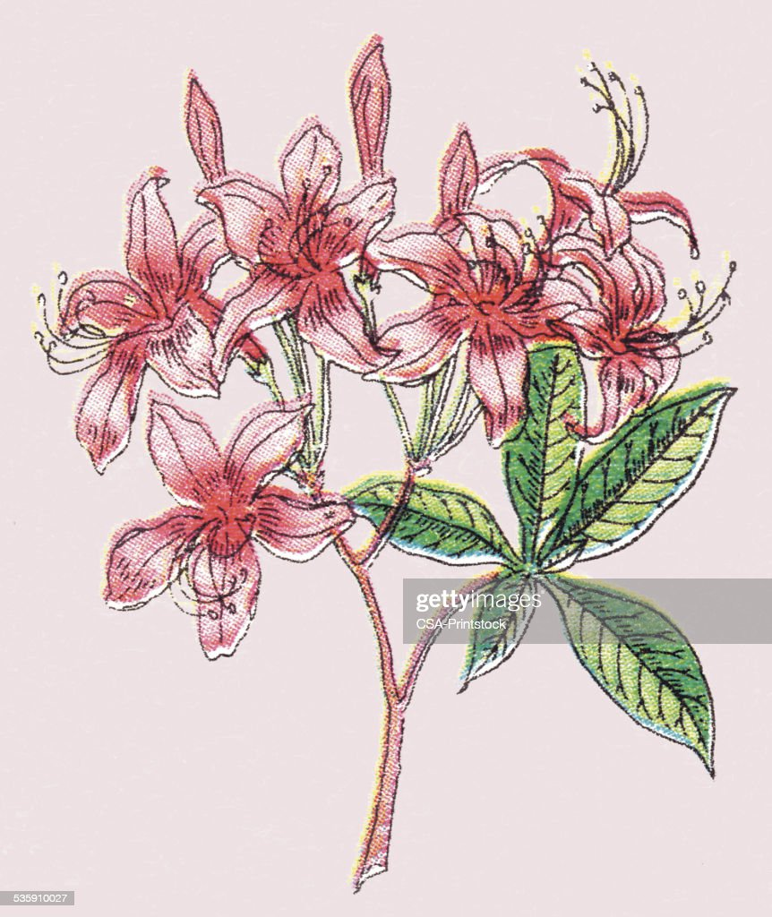 Pink Flowers : Stock Illustration