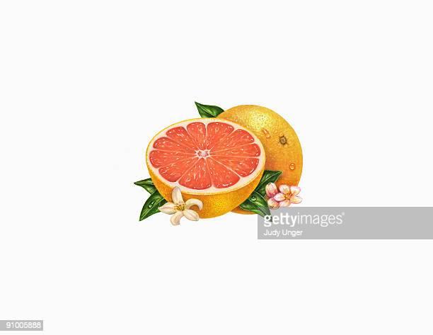 ilustraciones, imágenes clip art, dibujos animados e iconos de stock de pink grapefruit - pomelo rosa